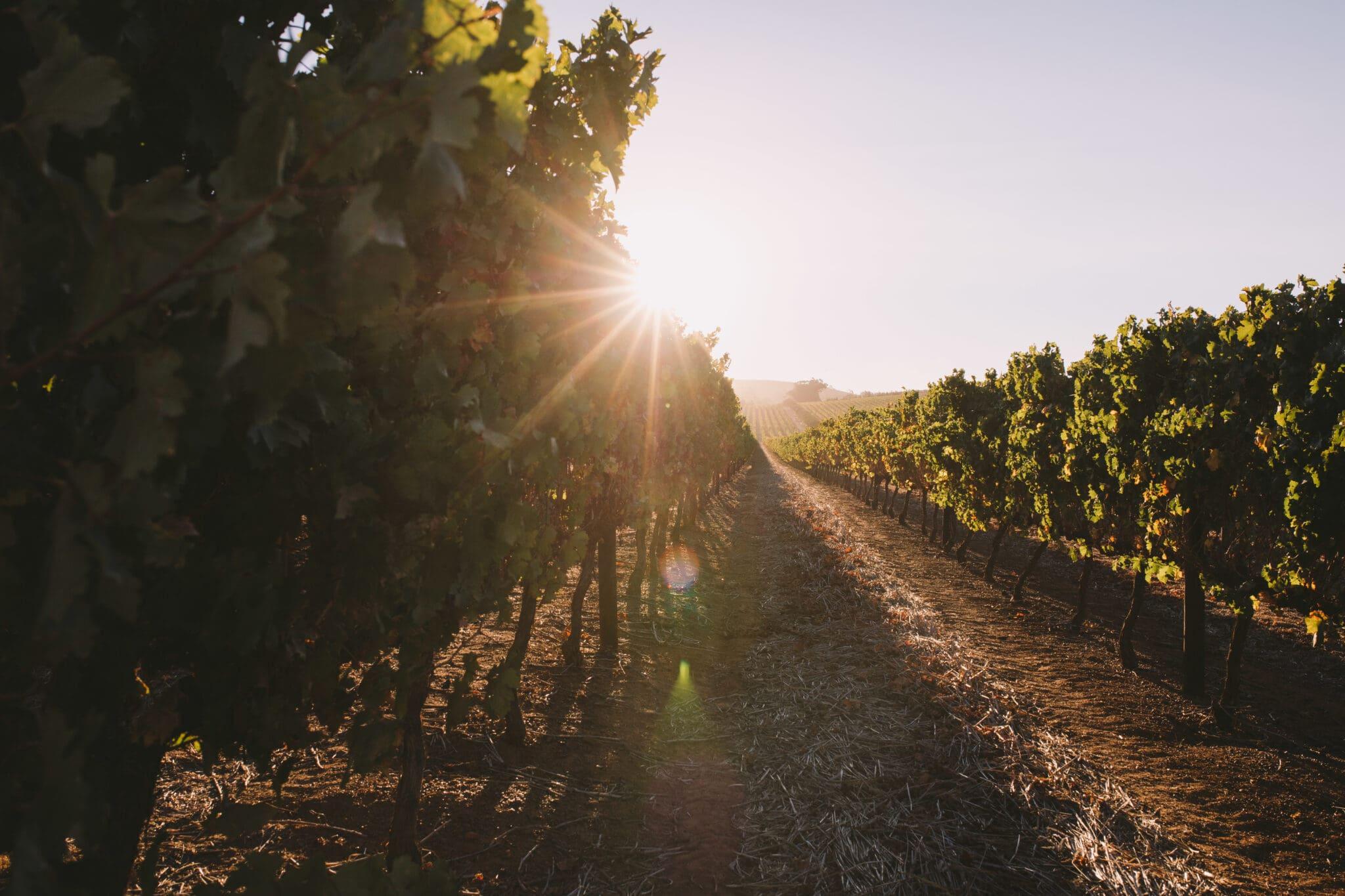 farm-sun-summer-plants-wine-outdoor-grapes-sun-flare-wine-field-wine-farm_t20_1J1zkg