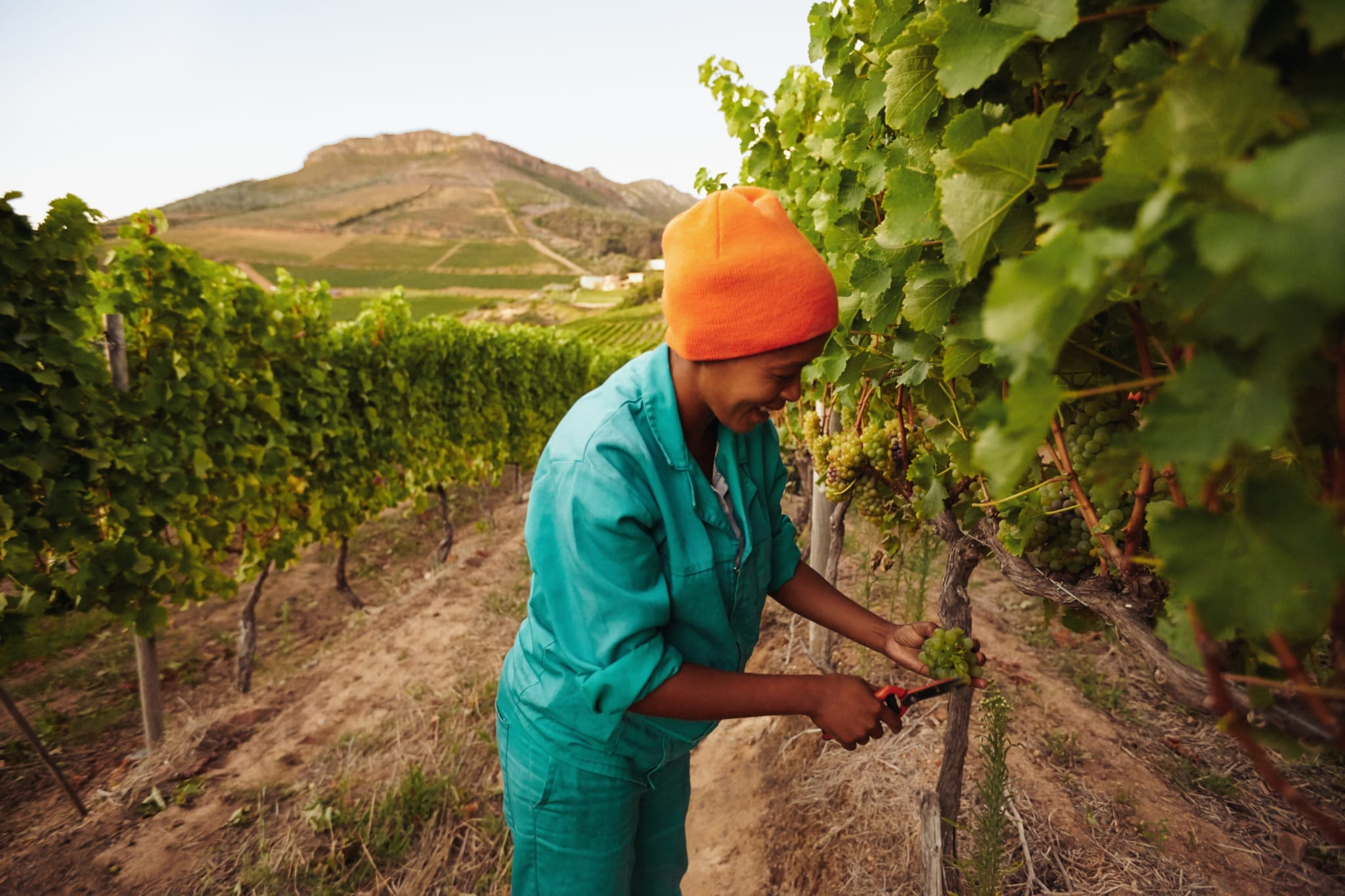 Woman in vineyard picking grape. Picker harvesting grapes on the vine.