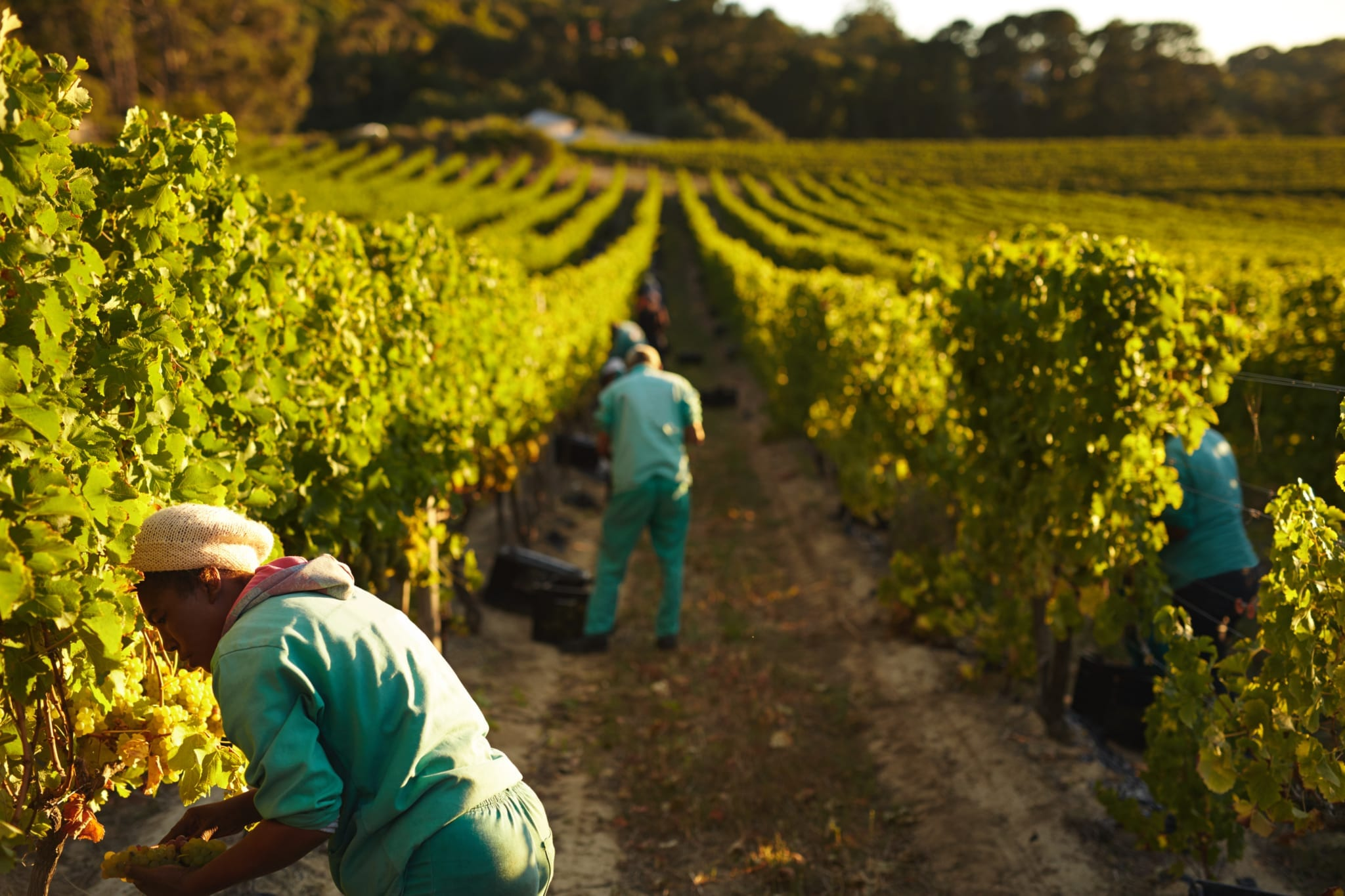 Grape pickers working in field of grape vines. Farm workers harvesting grapes in vineyard for making wine.