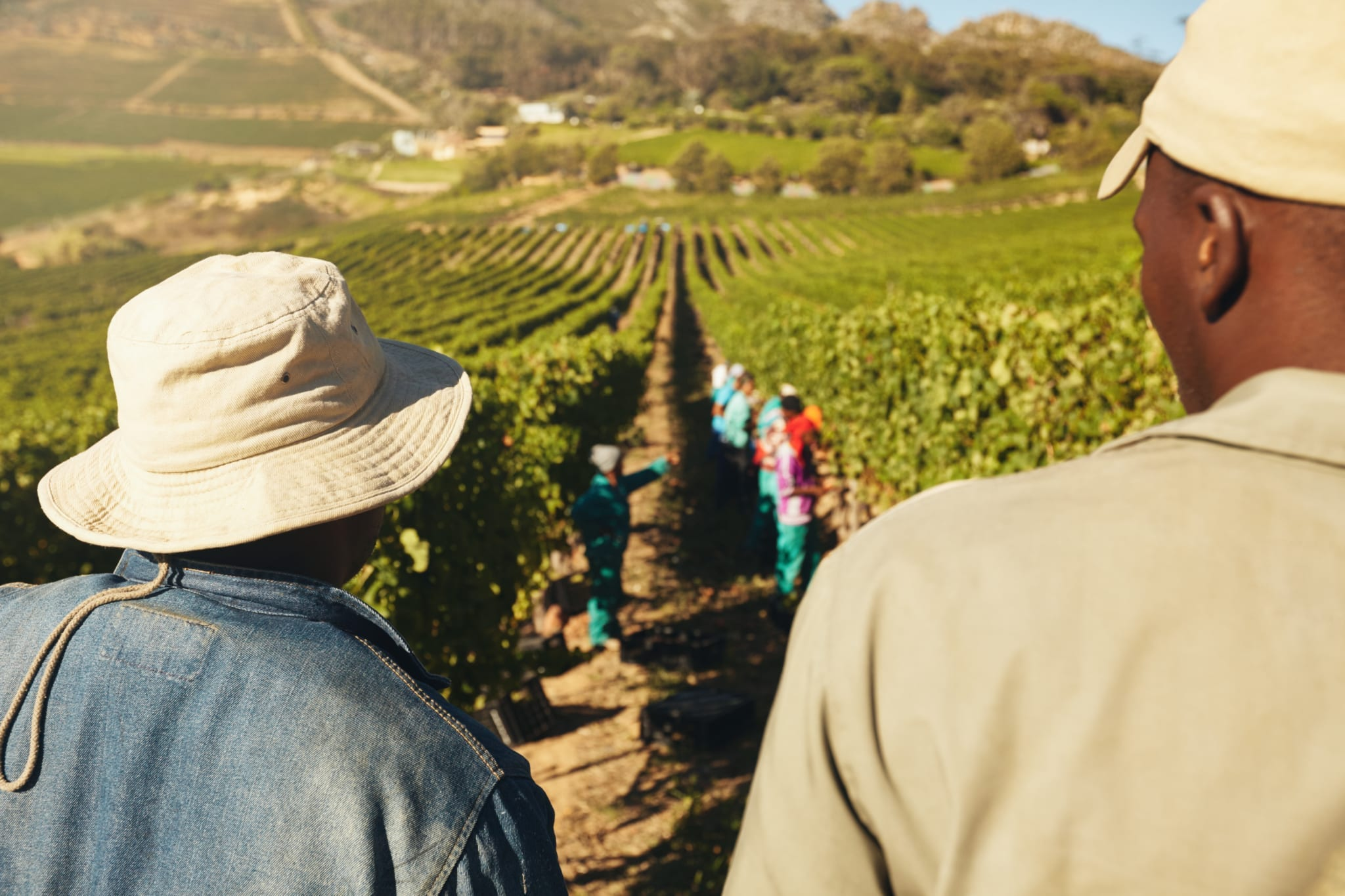 Rear view of two worker standing and looking at vineyard. People working in vineyard. Workers harvesting grapes from rows of vines in grape farm.